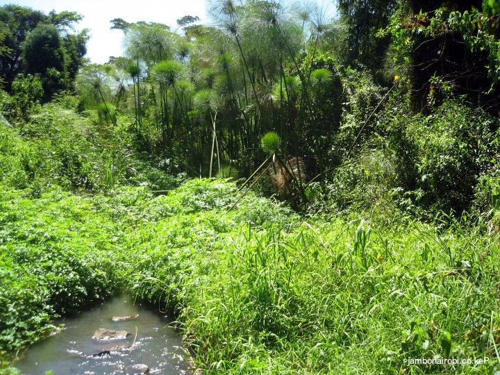 papyrus-swamp-along-mbagathi-river-oloolua